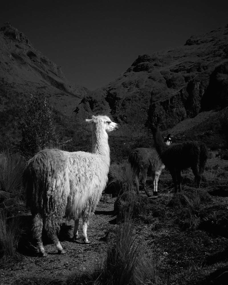 Llamas Inca trail.jpg