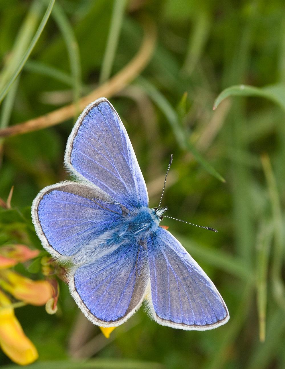 Matterley Common Blue