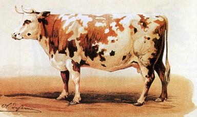 COTENTINE COW 1862     The main ancestor of the Normande