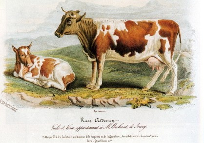 Alderney breed 1842  [Cow and calf, the property of M. Brehaut of Jersey Colour Plate XIV. David Low. On The Domesticated Animals Of The British Islands Comprehending The Natural And Economical History Of Species And Varieties: The Description Of The Properties Of External Form; And Observations On The Principles And Practice Of Breeding. Pps 767. 1842.]
