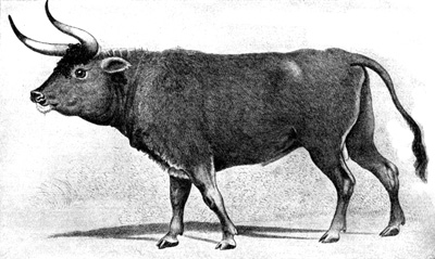 The Augsburg aurochs.  This painting is a copy of the original that was present at a merchant in Augsburg in the 19th century. The original probably dates from the 16th century. It is not known if the original as well the copy still exist somewhere (Van Vuure, 2003 )