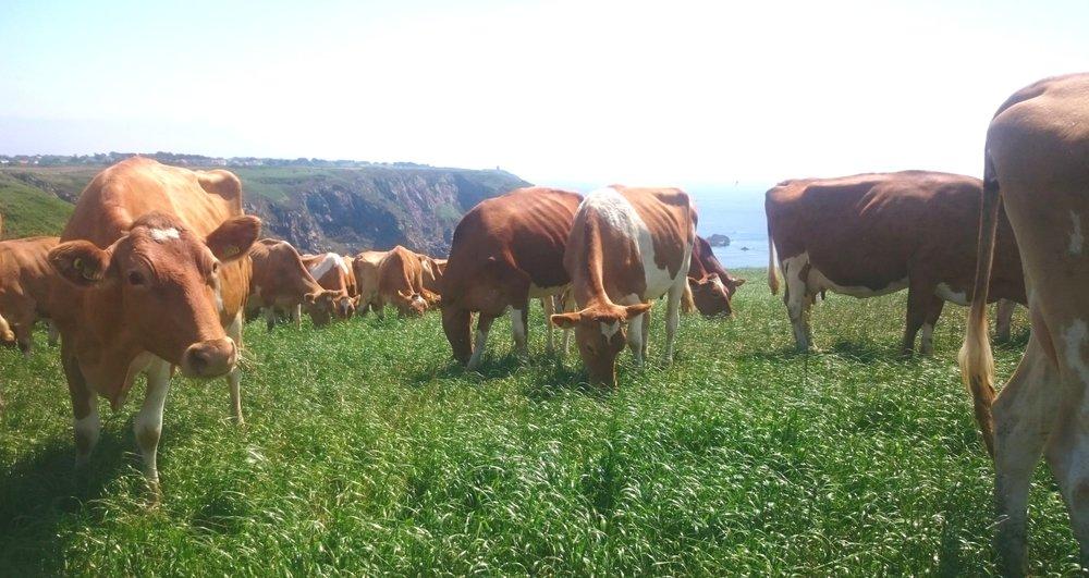 Smithfield Herd, Guernsey