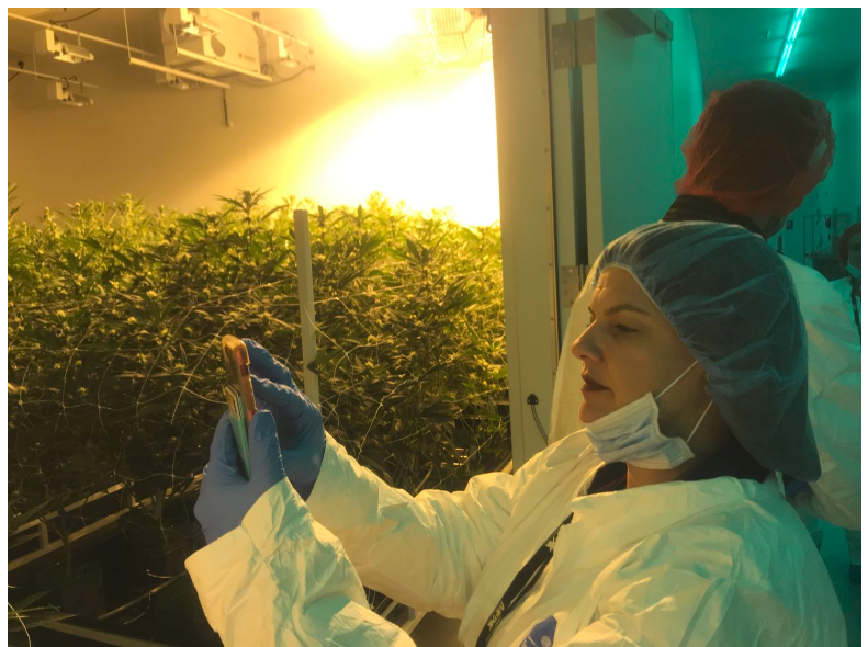 Chris Visco, Pennsylvania's queen of cannabis, took a tour of the iAnthus marijuana grow in North Las Vegas in mid-November. Here she takes an iPhone photo of one of the growing rooms.
