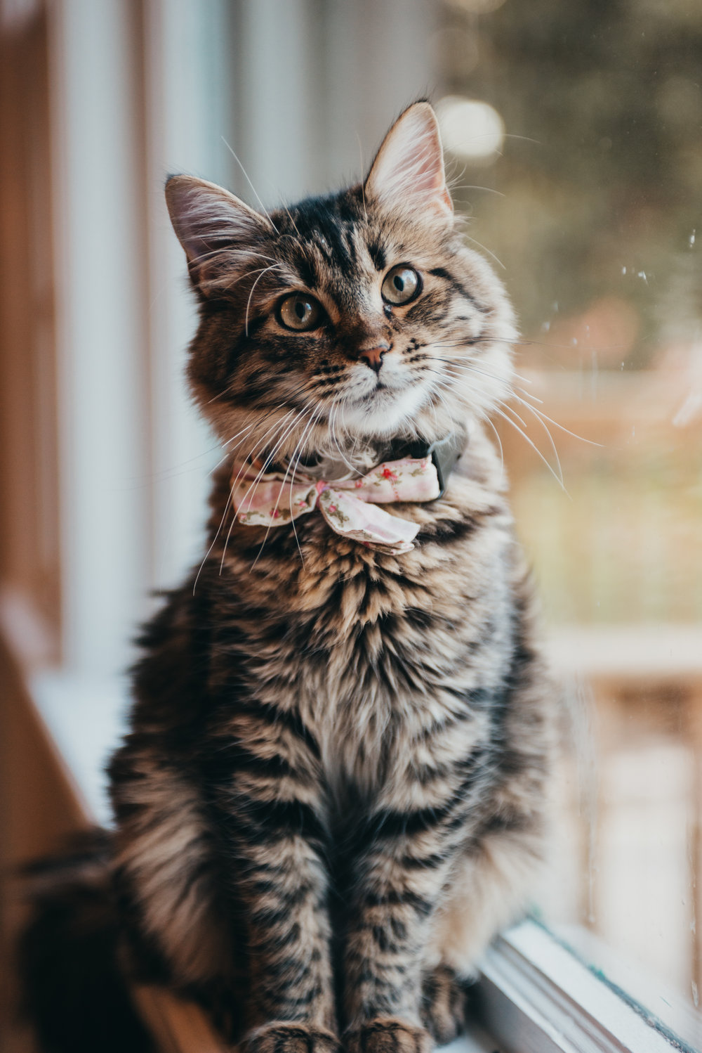 My Darling Hilda - The Maine Coon Kitty