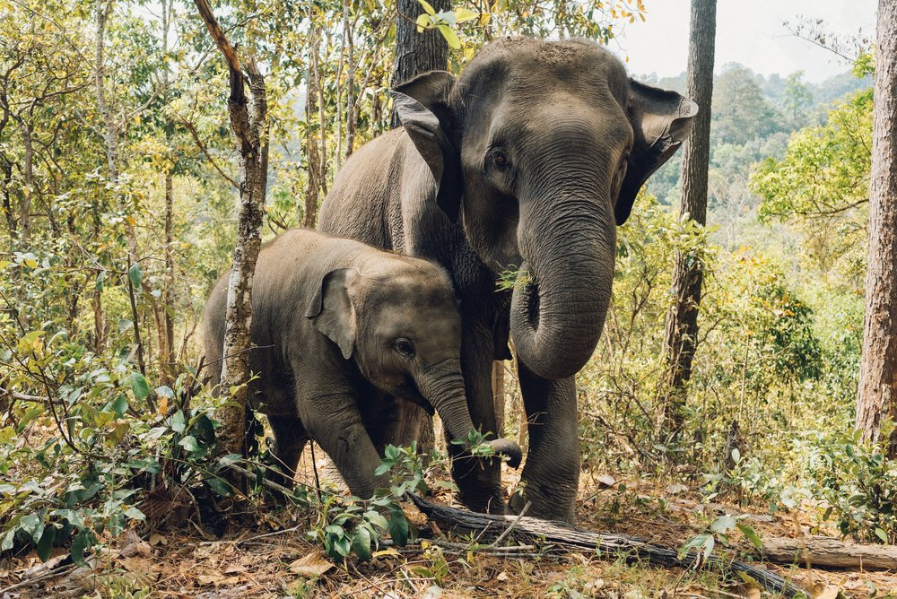 These soulful herbivores eat a massive amount of plants. Elephants will eat all plant organs – stems, roots, seeds, flowers, fruits and leaves.Adult elephants can eat about 200 – 600 pounds a day. -