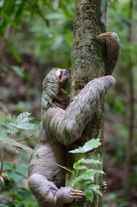 Slow and sleepy sloths live in trees in Central and South America rainforests.Their adaptation and plant connection is their green fur, camouflaging them from predators in the green, green forest.Sloths are champions in plant connection – diet, habitat, waste recycler all in a one able bodied ecosystem. -