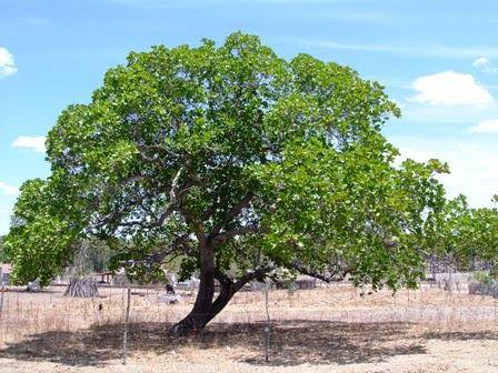 Marcio Andrade. The sustainable Brazilian Baru tree is used for reforestation, and its nuts provide protein and antioxidants. -