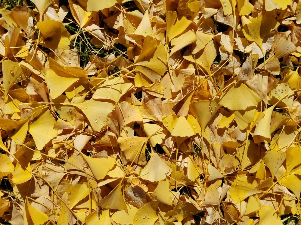 Ginkgo's other common name is Maidenhair.Its leaves are inspiration for art, jewelry and other beautiful objects. -