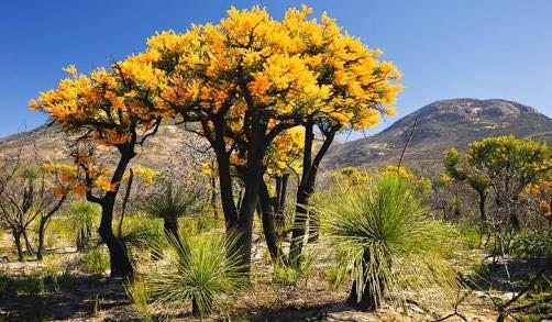Alex Harper. Golden wattle, Australia's national emblem and grass trees. -