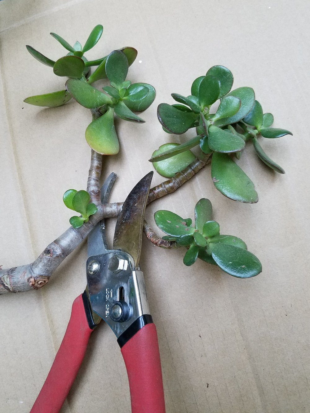 Cuttings are a great way to get a new plant without having to buy one. -