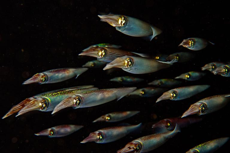 A squadron of Caribbean reef squid  (Sepioteuthis sepioidea) , known for their voracious appetites and ability to communicate by rapid changes in skin color and patterns,   (National Geographic photo)