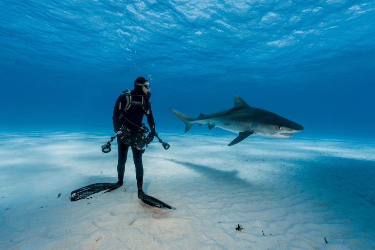 A diver keeps a close watch on a tiger shark in the Bahamas. (National Geographic photo)