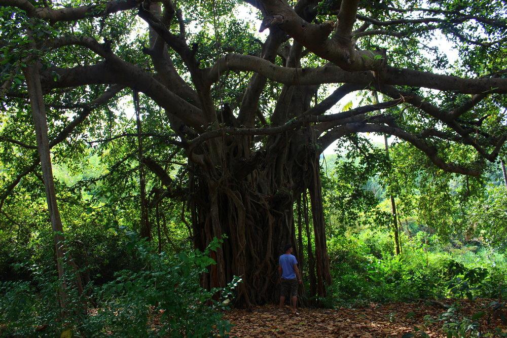 banyan-tree-india-agonda-beach