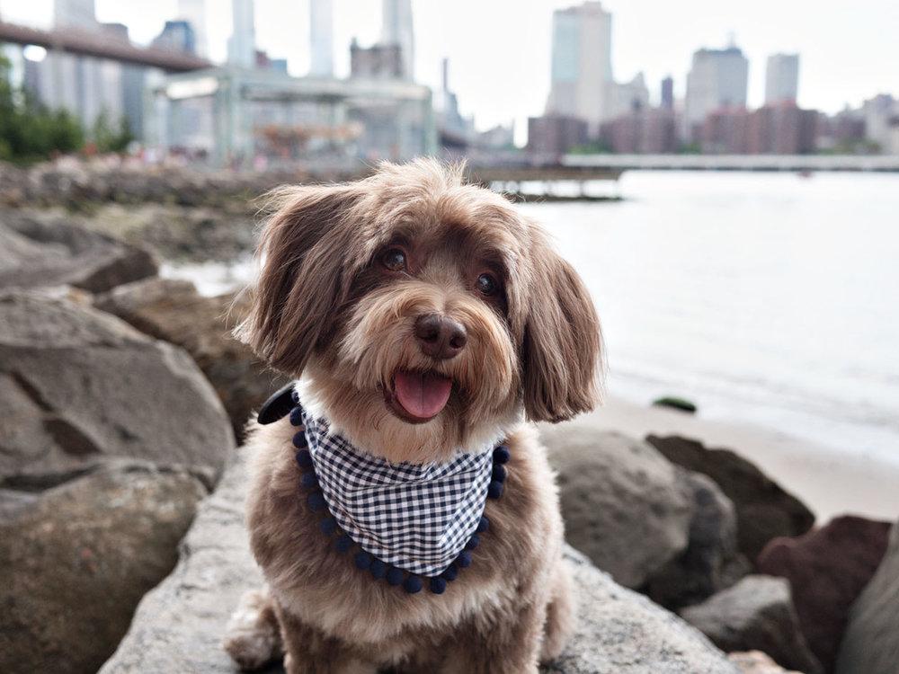 Chewie Oh Honey Bear Pompom Charlie Dog Scarf Brooklyn