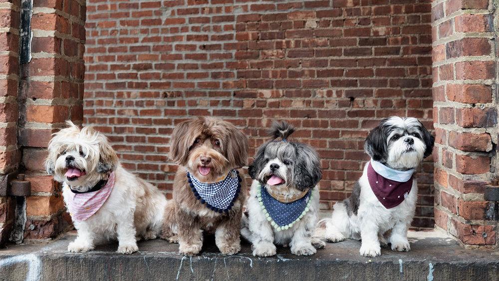 Latte Maddie Chewie Honey Oh Honey Bear 2017 dog scarves Brooklyn