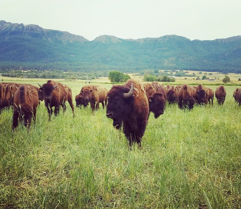 """Buffalo bull located on """"the Slope"""" of the Stangel Buffalo Ranch. One of the several irrigated pasture locations that feed the 100% grass fed/finished animals on our ranch."""