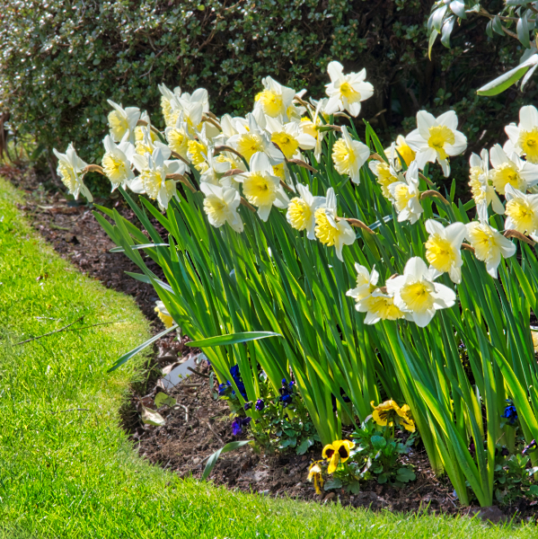DSC_2790 Tulips.jpeg
