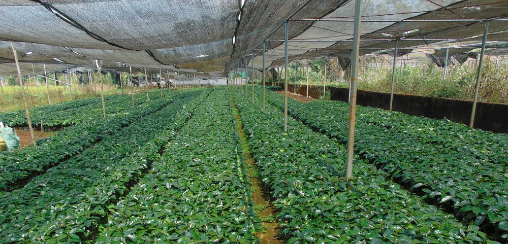Arabica seedlings being raised and prepared for Lao farmers