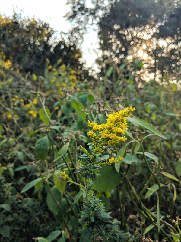 Photo: Goldenrod in the fields where we forage. Soon to be made into tincture and salves for the shop!