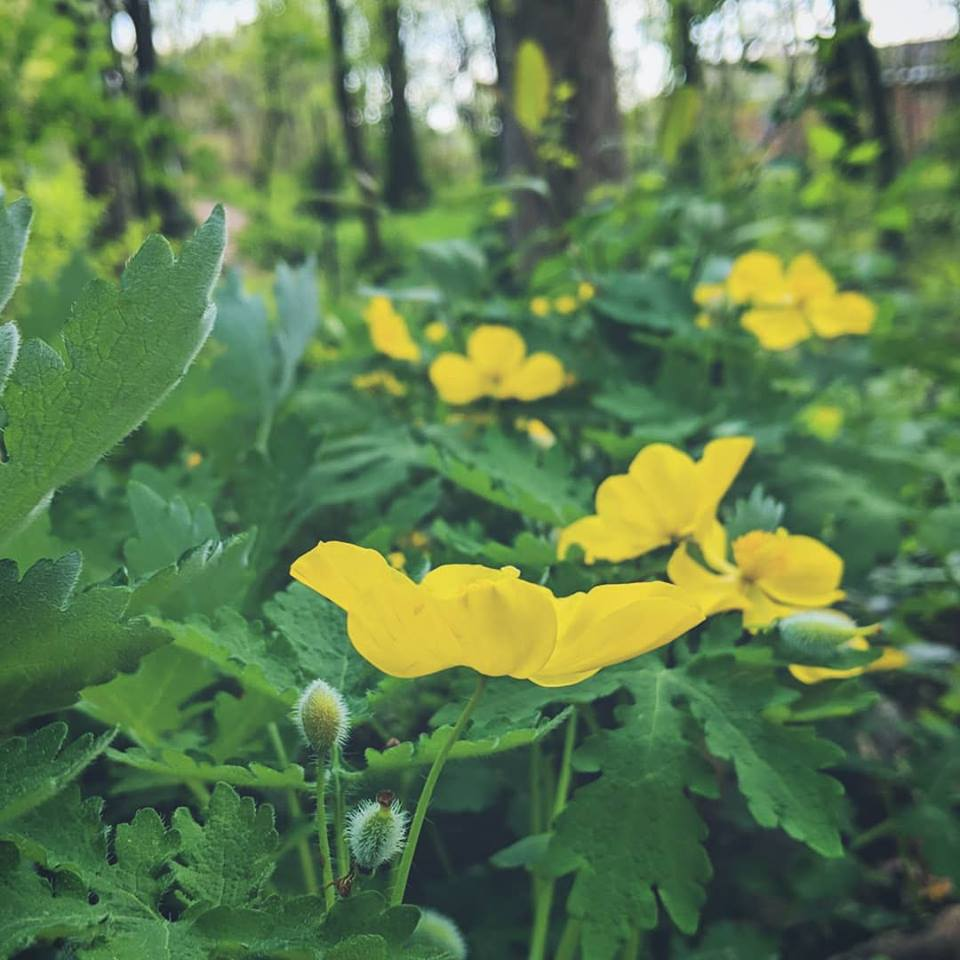 Our local Woodland Poppy, also known as Celandine which is associated with the Sun and Jupiter in astrology.
