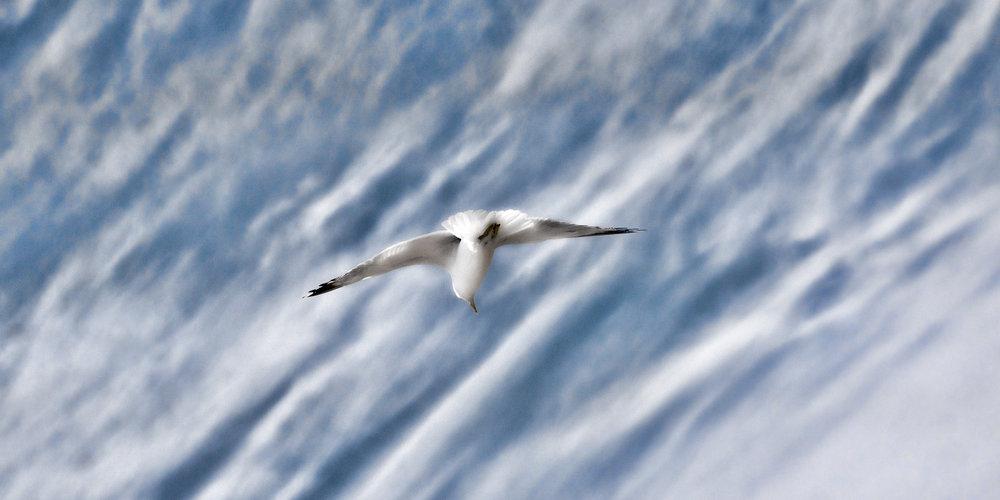 _DSC1197  Gull Sky 15 x 10.jpg