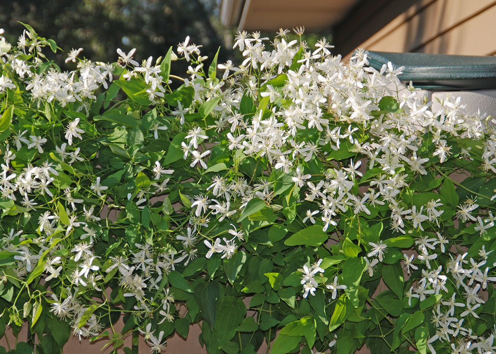 Sweet autumn clematis with white flowers and fragrant beauty quickly climbs up trellises and arbors.  Photo by Melinda Myers