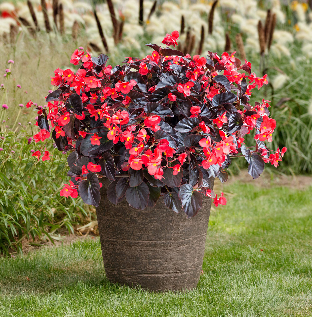 Begonia Viking XL Red on Chocolate is a striking plant great for container gardens. Its large vibrant red flowers are contrasted with chocolate brown leaves. Photo by All-America Selections