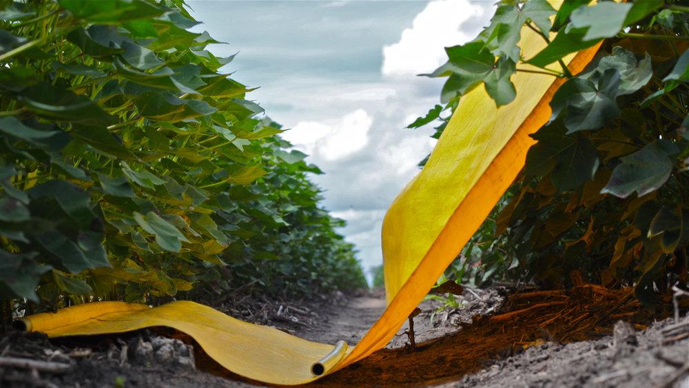 Cotton Pest Management - beat sheet in crop.jpg