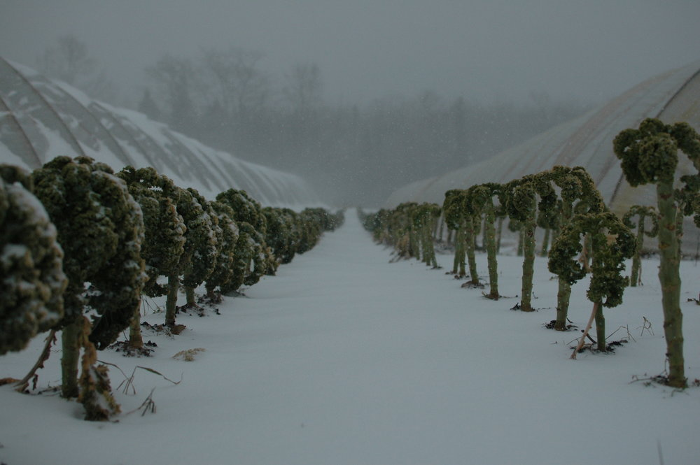 kale plantation