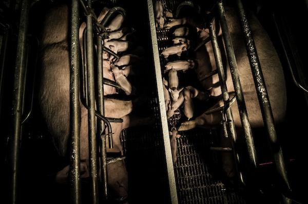 pig intensive farm-15.jpg