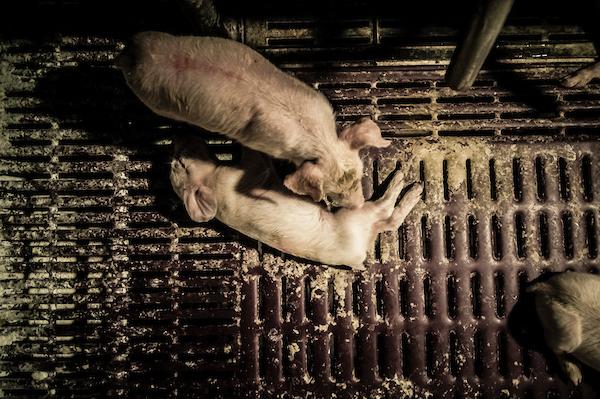 pig intensive farm-17.jpg
