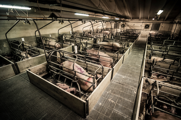 pig intensive farm-20.jpg
