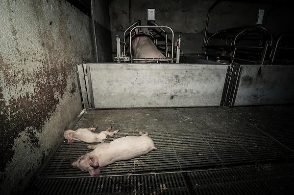pig intensive farm-29.jpg