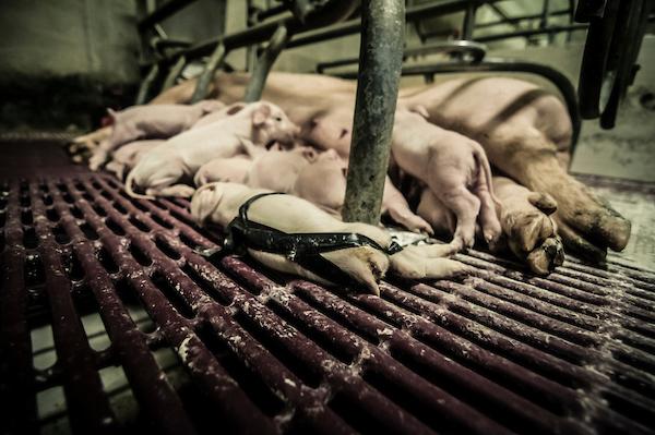 pig intensive farm-30.jpg