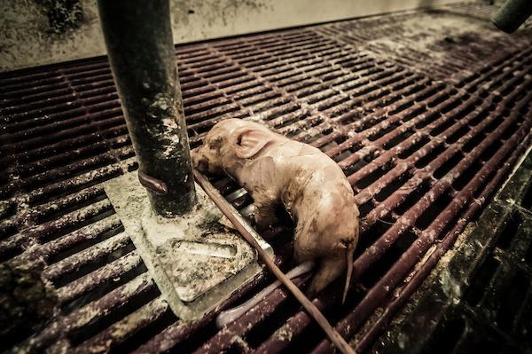 pig intensive farm-32.jpg