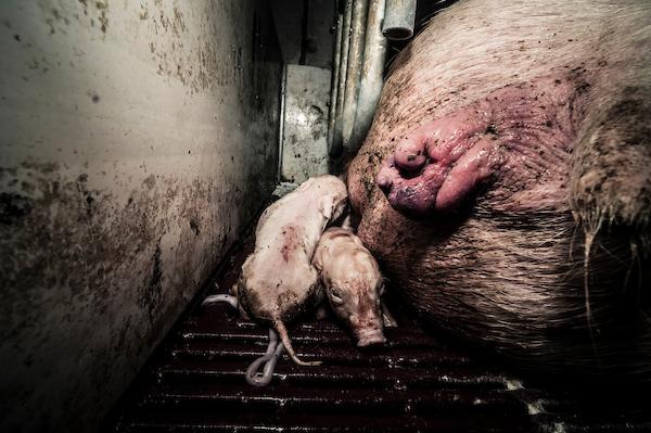 pig intensive farm-34.jpg