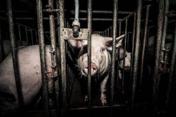 pig intensive farm-39.jpg