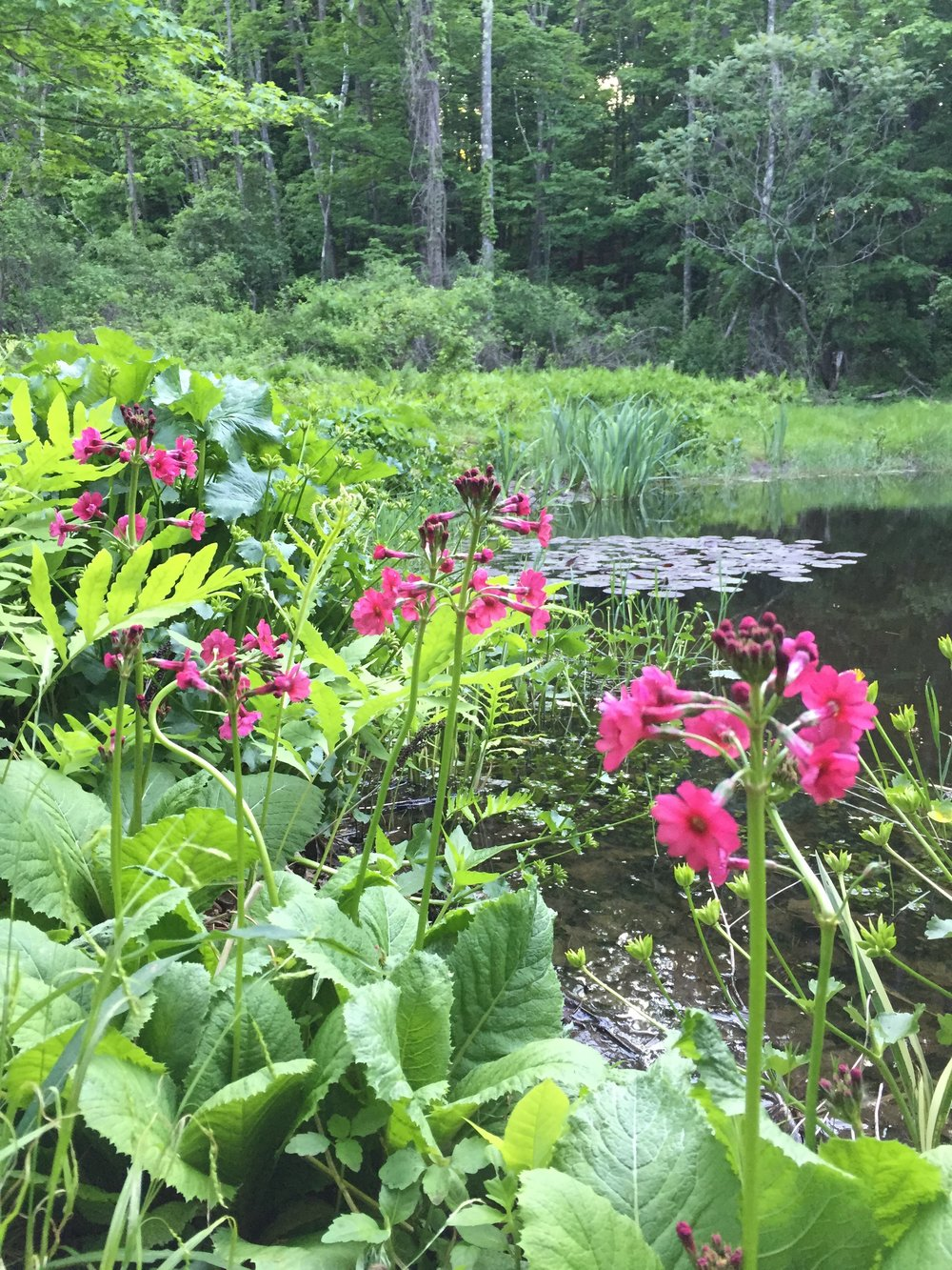 PRIMula JAPONICA HAVE BEEN NATURALIZED AROUND THIS HAND DUG POND IN THE CATSKILL FOOTHILLS