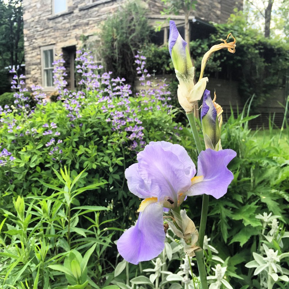 BEARDED IRIS SUIT THIS REINVENTED ENGLISH COTTAGE GARDEN IN THE MOUNTAINS