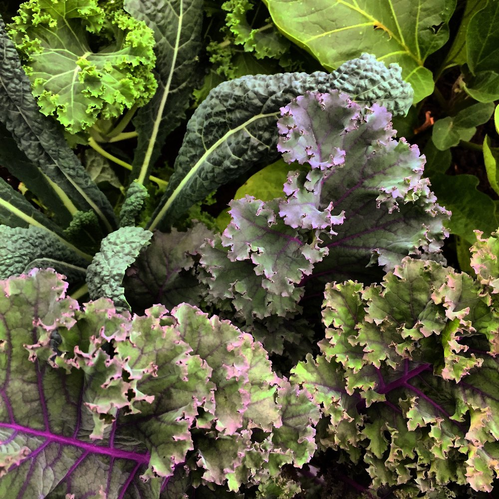 KALE ARE NOT JUST LIMITED TO THE VEGGIE GARDEN, HERE THE USE OF DIFFERENT VARIETIES ALONG A PATH CREATE DEPTH AND TEXTURE
