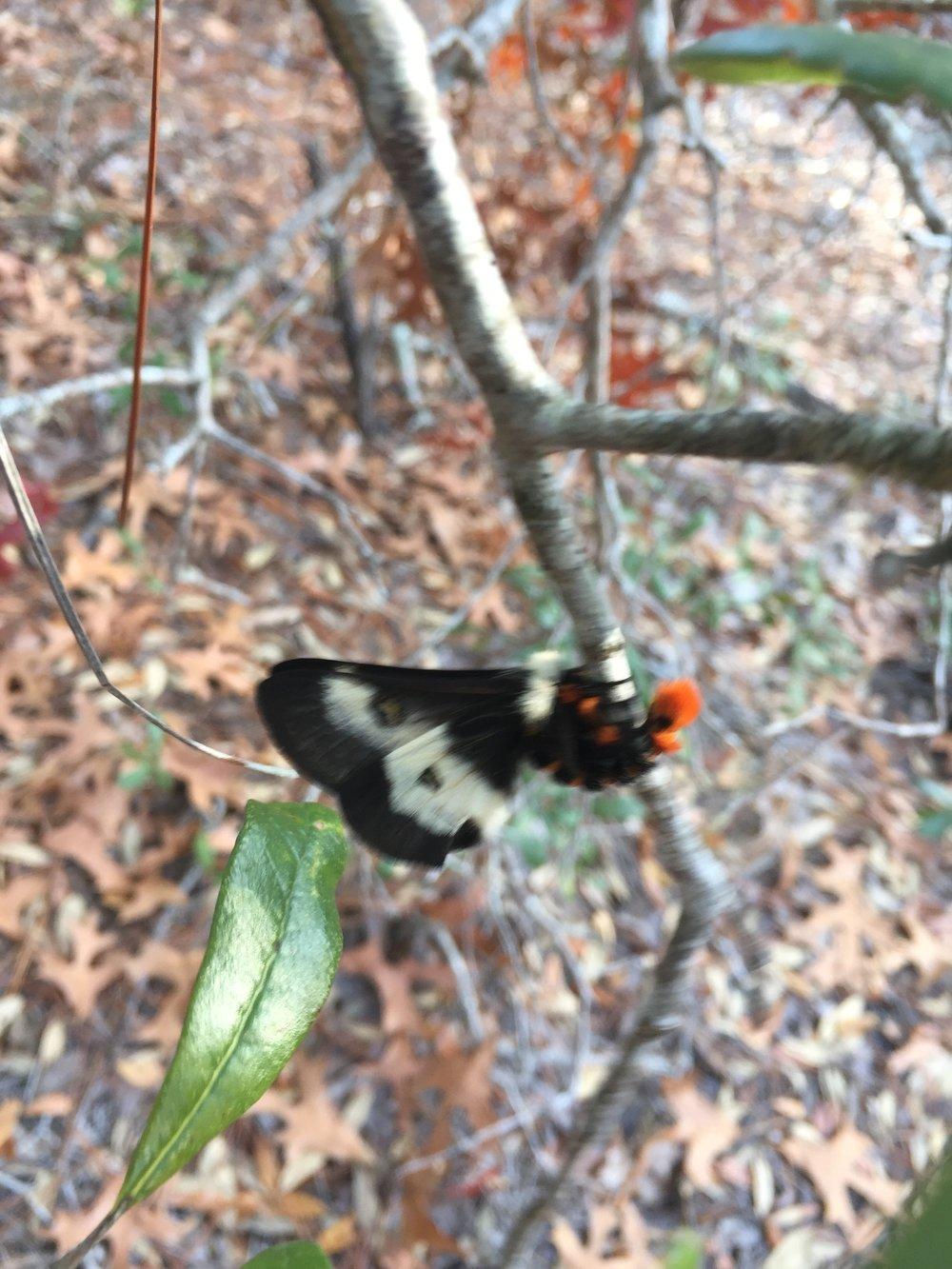 Male Buck Moth