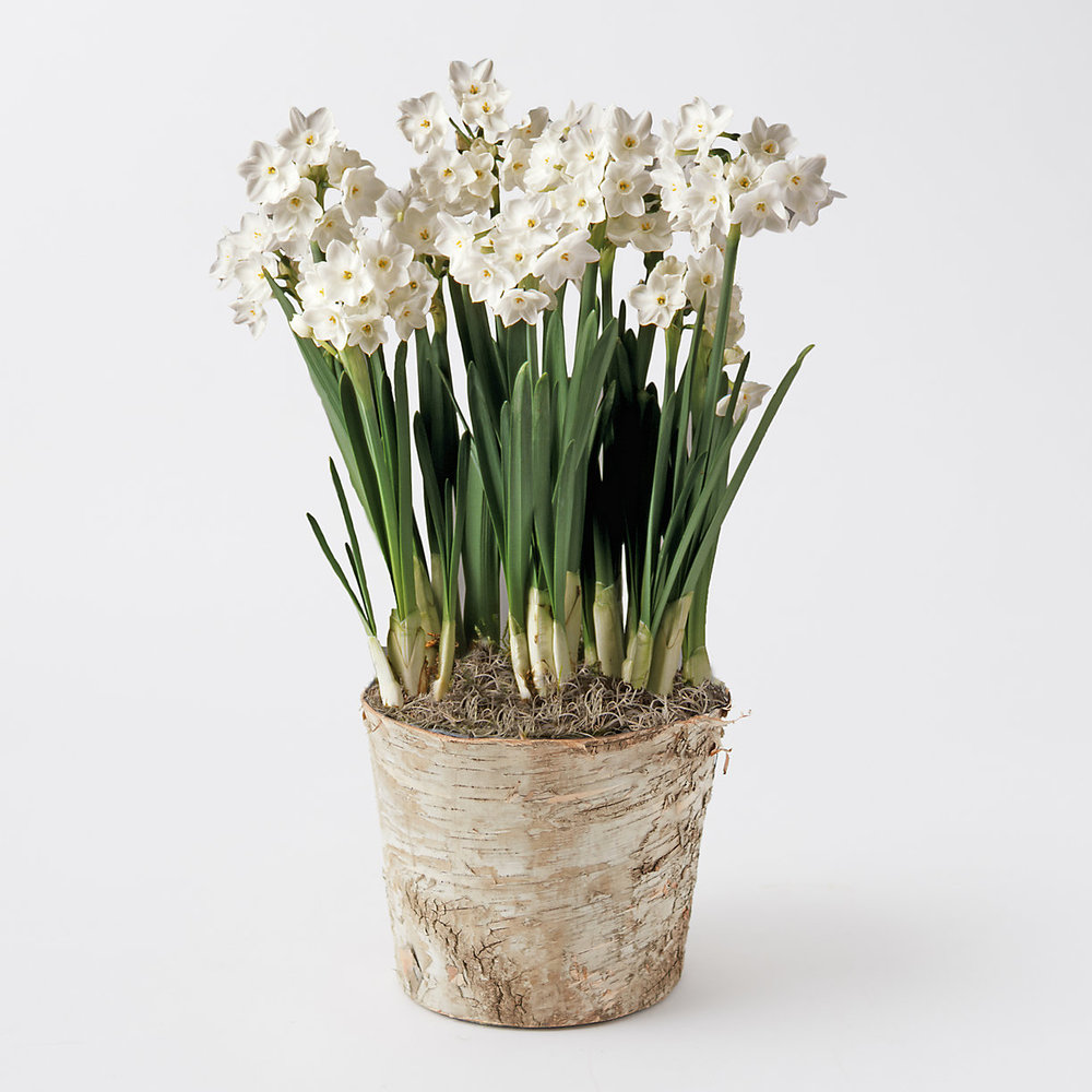 Forcing Paperwhites Indoors Bees And Bubbles