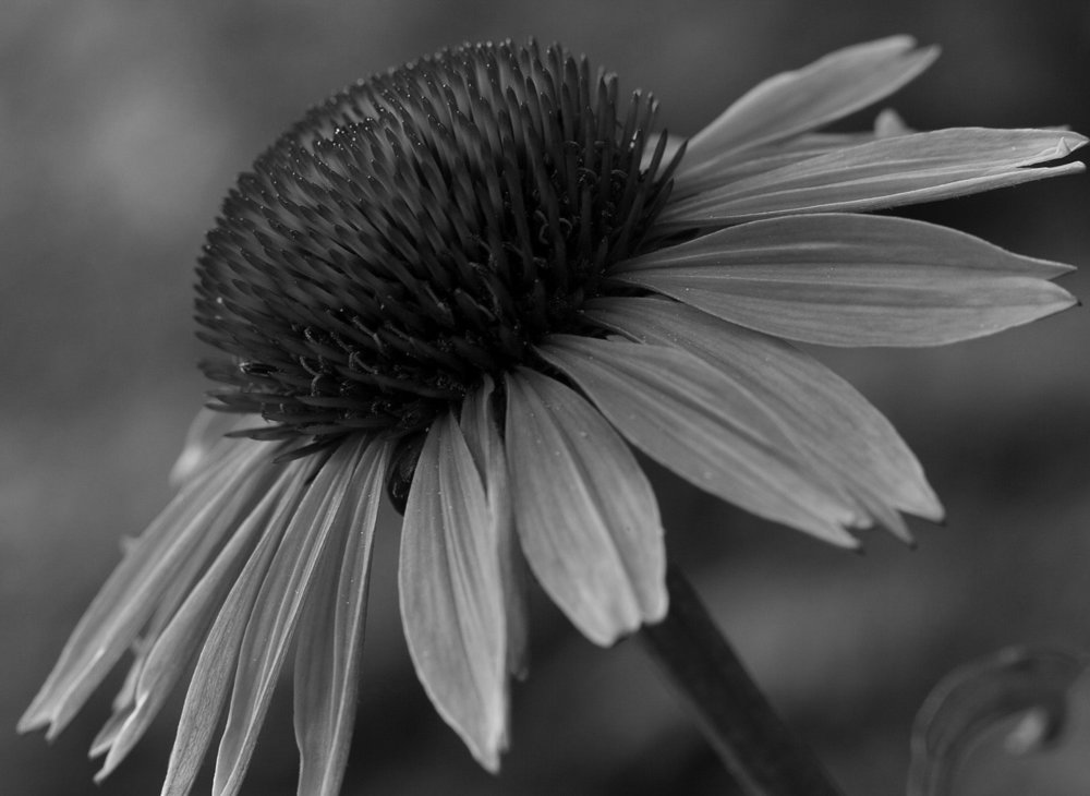 powell-bwflowers.jpg