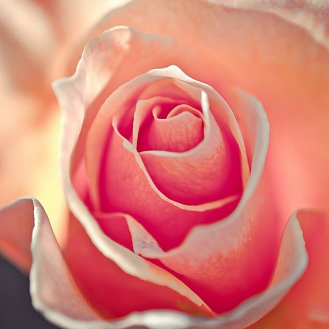 closeup-flower-pink.JPG