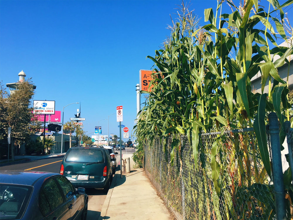 A photo of the urban garden (and towering corn crop) from this past summer.