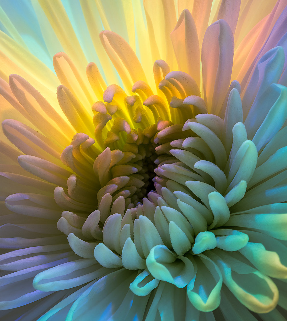White Chrysanthemum in a Different Light