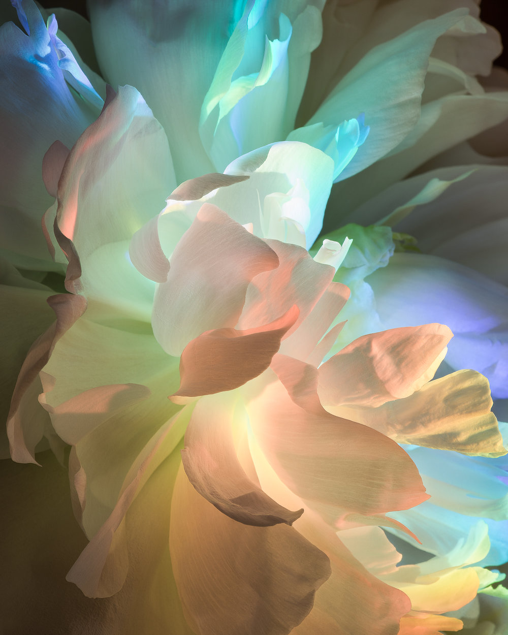 White Peony in a Different Light