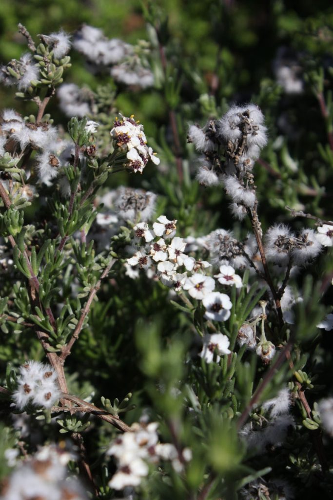 Blooming kapokbossie