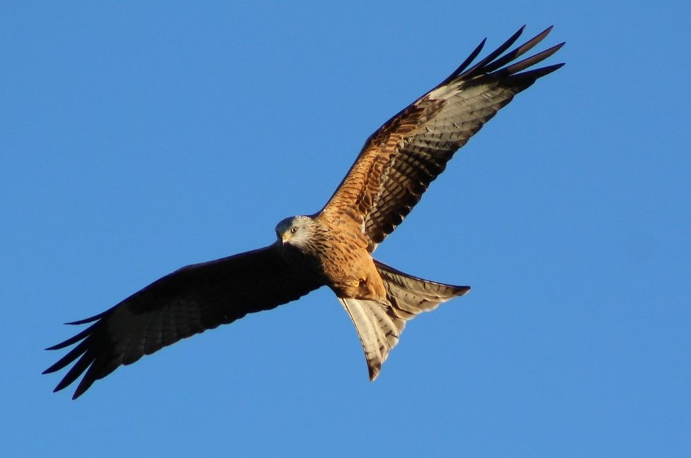 Kite in Wales