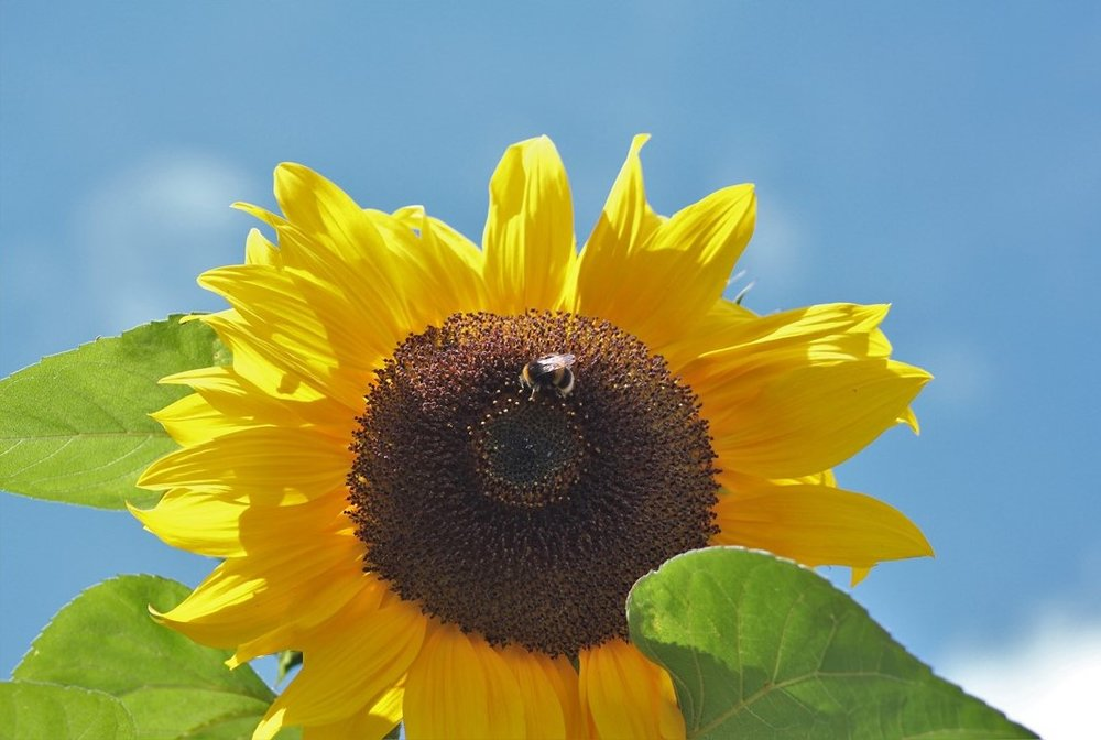 Sunflower and Bee Hearts Journey.jpg